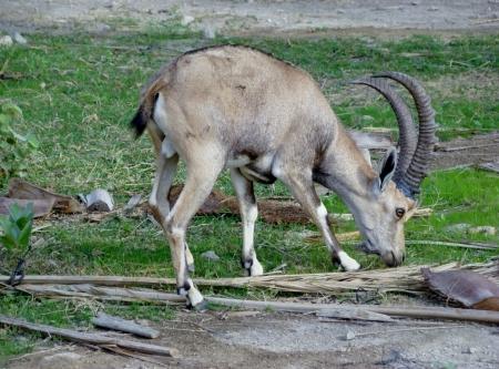 Goat at Engedi. Photo by Leon Mauldin.