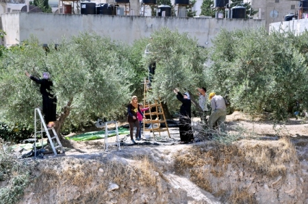 Gathering  Olives at Shechem. Photo by Leon Mauldin.