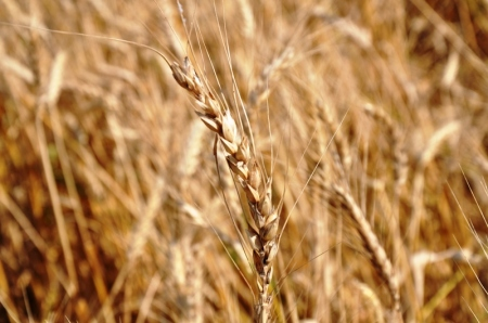 Barley in Pamphylia. Photo ©Leon Mauldin.