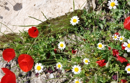 Wild flowers at Hierapolis. Photo by Leon Mauldin.
