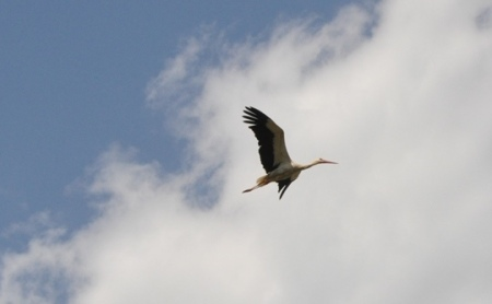 Stork in flight in Pamphylia. Photo ©Leon Mauldin.