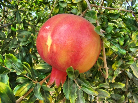 Pomegranate such as that referenced in Song of Solomon 4:3. Photo by Leon Mauldin.