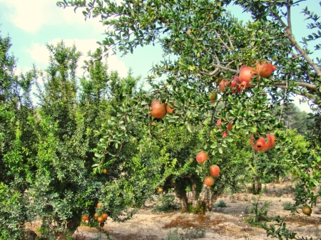 Pomegranate orchard near Lachish in southern Israel. Photo by Leon Mauldin.