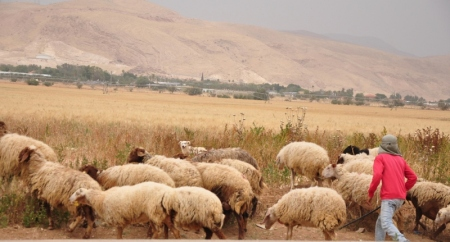 Sheep in Jordan Valley. Photo by Leon Mauldin.