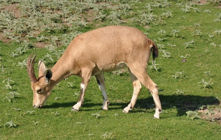 Ibex at En Gedi. Photo ©Leon Mauldin.