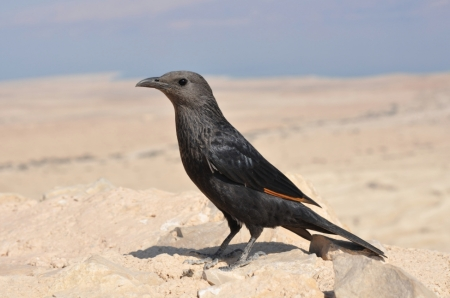 Tristram's Starling at Masada. Photo ©Leon Mauldin.