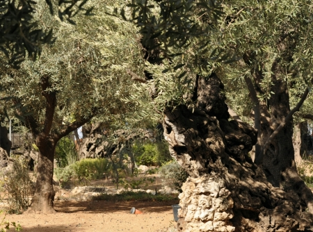 Ancient olive trees on the Mt. of Olives. The Garden of Gethsemane was in this area. Photo by Leon Mauldin.